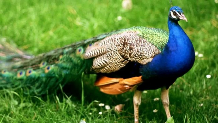 10 lines About Peacock in Hindi